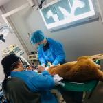 アカカンガルーの下顎骨折治療。