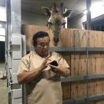 先日アメリカから到着した子供のアミメキリン。やっと検疫を終え宇都宮動物園に出発です。