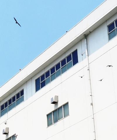 鷹による鳩追い払いの様子